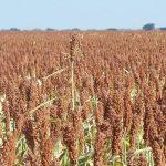 Grain-Milo-(Grain-Sorghum)-Seed