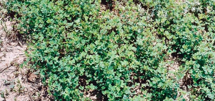 Korean Lespedeza Seed Seed Pellet Stoves Wood Stoves