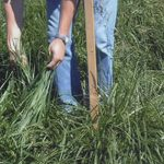 Best-For Plus Variety Forage Ryegrass Seed