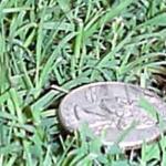 Cherokee Bermudagrass Lawn Grass Seed