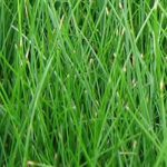 Chewings Tall Fescue Lawn Seed