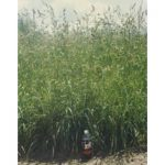 Hallmark Orchard Grass Seed
