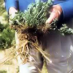 Haygrazer-Alfalfa-Seed