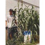 Hybrid-Forage-Sargo-(Sorghum)-Seed