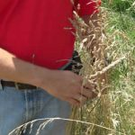 Kentucky-32-Tall-Fescue-Seed