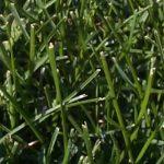 Kentucky Bluegrass Lawn Seed