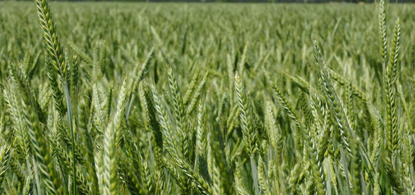 triticale-seed