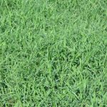 Warm Season Lawn Grass Seed