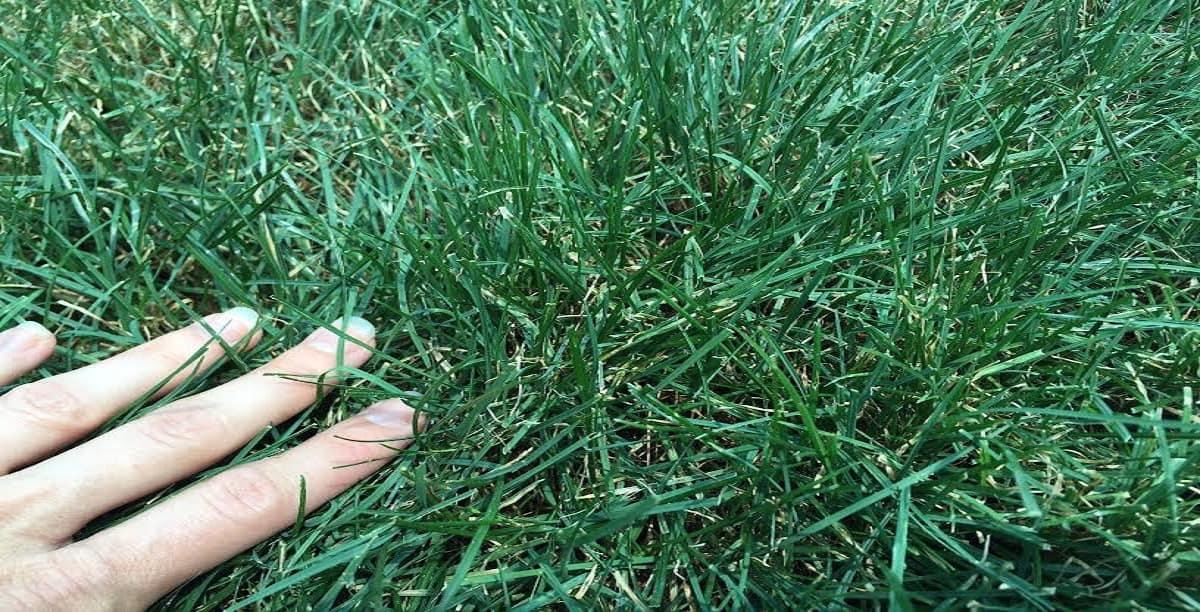 Ryegrass Seed